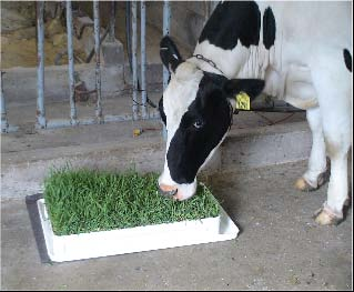 cow grazing microsward
