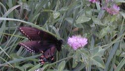 butterfly in pasture