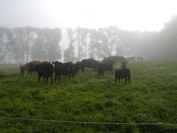 Cows grazing in the fog