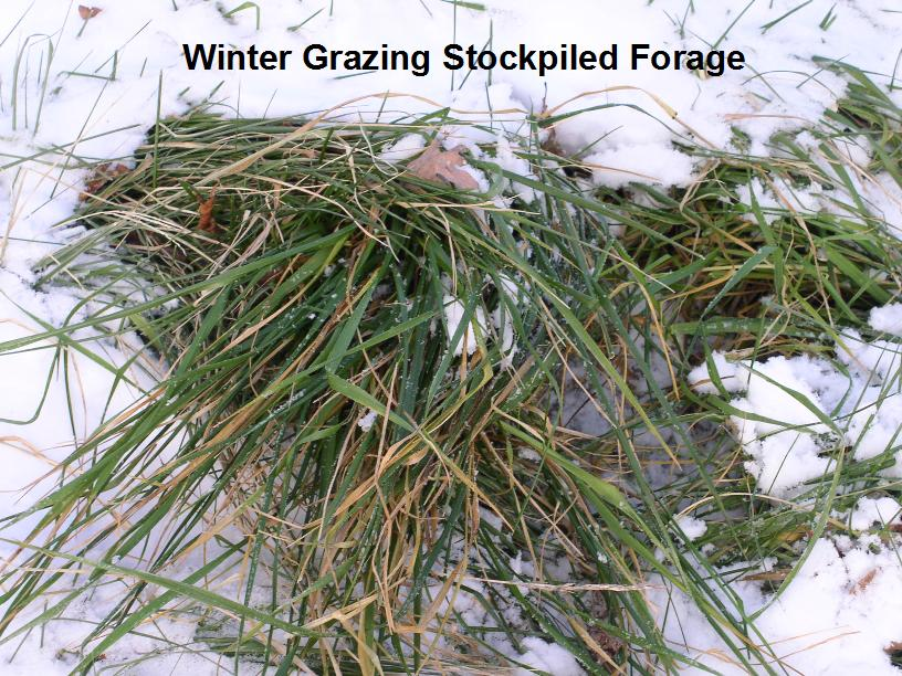stockpiling winter forage