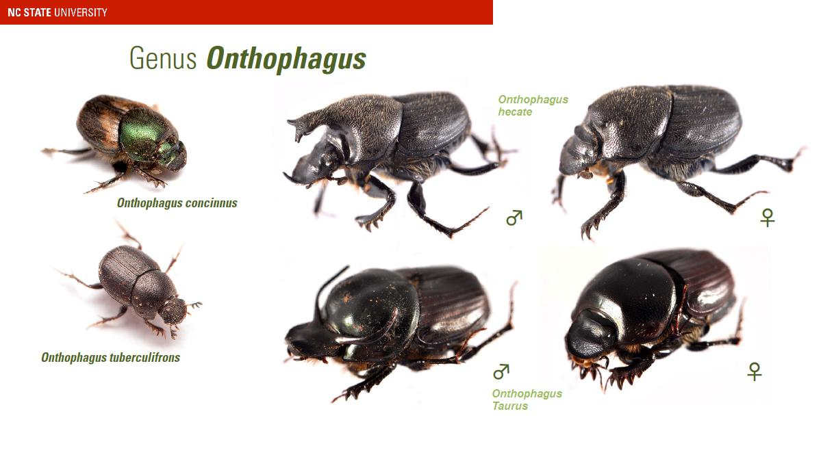 Onthophagus dung beetles